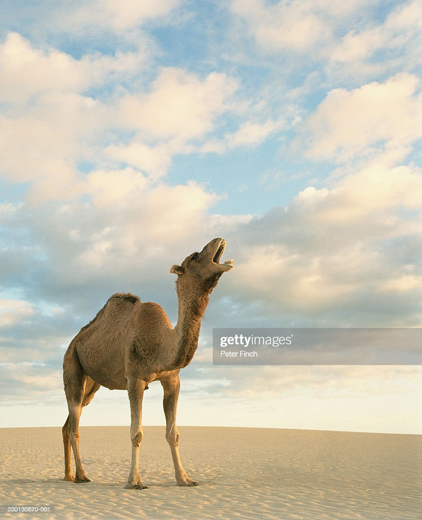 dromedary camel calling in desert ストックフォト getty images