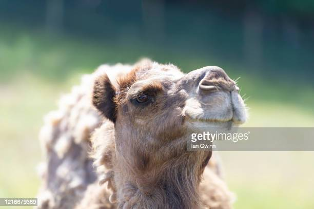 dromedary camel - ian gwinn stock pictures, royalty-free photos & images