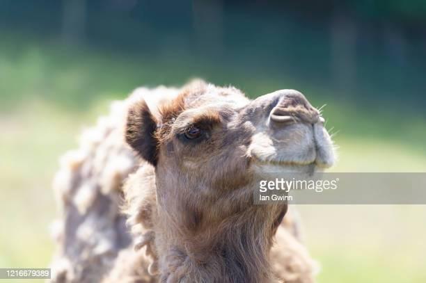 dromedary camel - ian gwinn stockfoto's en -beelden