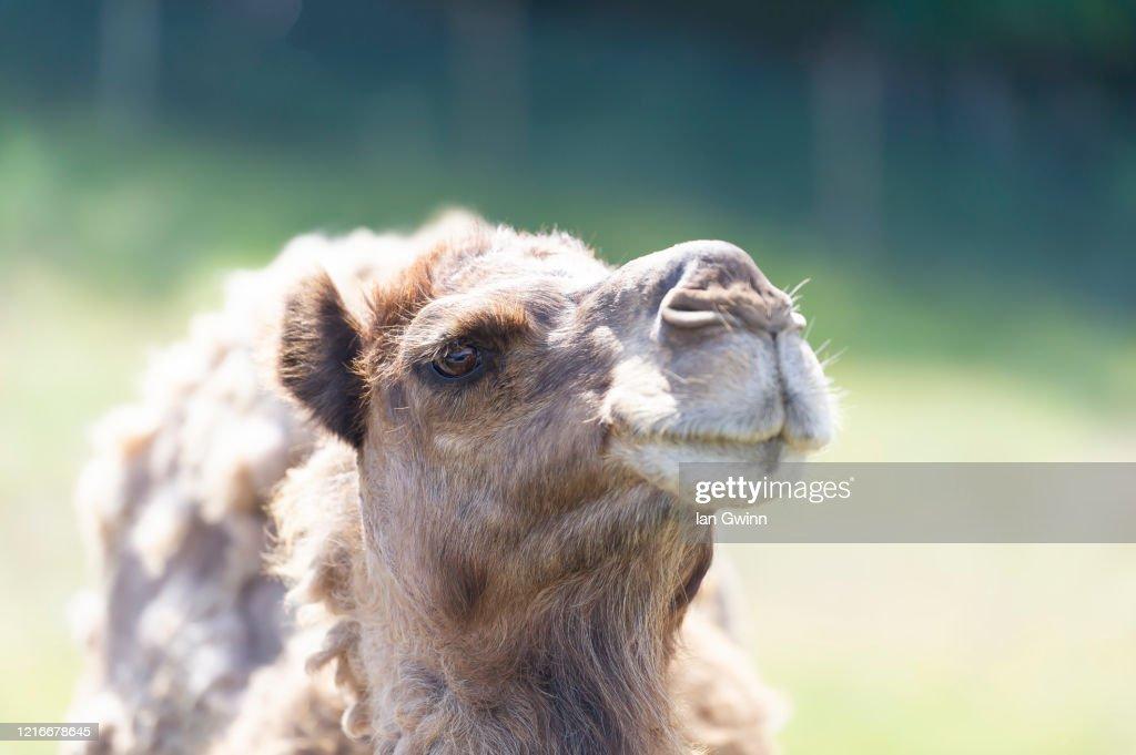 Dromedary Camel_1 : Stock Photo