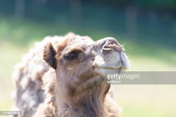 dromedary camel_1 - ian gwinn stockfoto's en -beelden