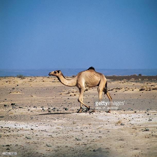 Dromedary Camelidae AsEyla Djibouti Africa