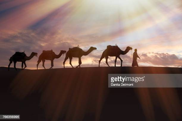 dromedary (camelus dromedarius) camels, caravan being led through desert by tuareg man, on erg chebbi dunes (up to 400 ft in height), merzouga, erfoud, tafilalet, morocco - camel train stock pictures, royalty-free photos & images
