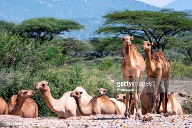 dromedary camels with acacia tree with baby camel - east africa stock photos and pictures