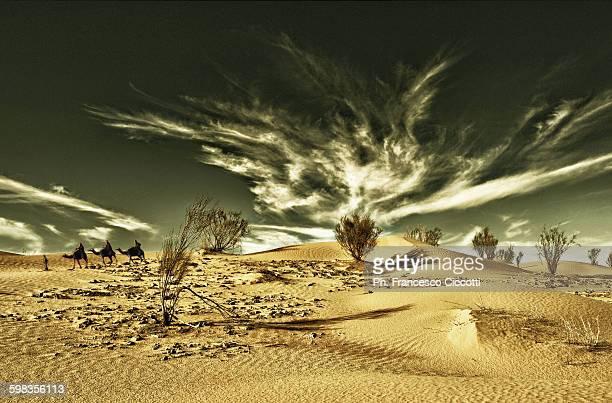 Dromedary in Desert