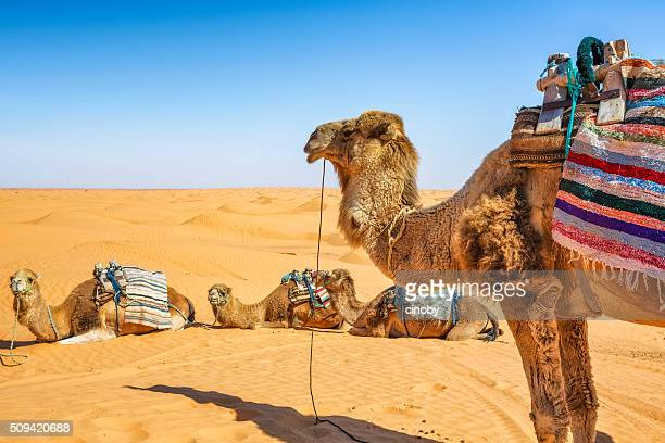 dromedary in the sahara desert of ksar ghilane erg , tunisia - tunisia stock pictures, royalty-free photos & images