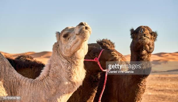 Dromedary in the Sahara desert.