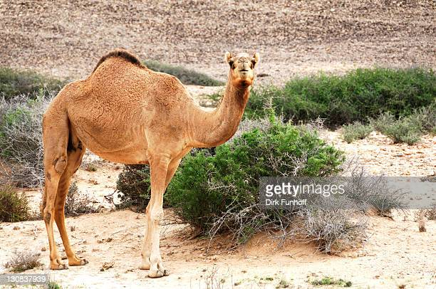 dromedary (camelus dromedarius) standing on the roadside, ras al jinz, oman, middle east - vista lateral stock pictures, royalty-free photos & images