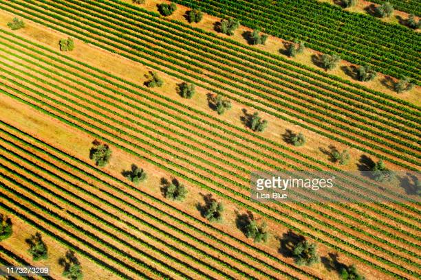 drone aerial view of olive trees and vineyard in chianti region, tuscany, italy - extra virgin olive oil stock pictures, royalty-free photos & images