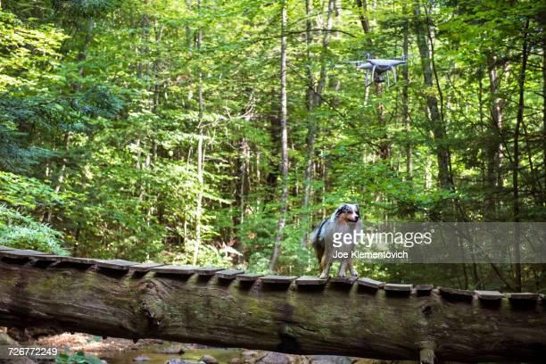 drone and dog near a bridge in teh woods - オクトコプター ストックフォトと画像