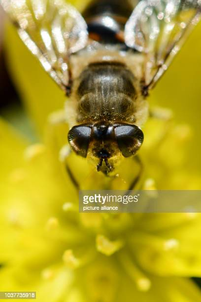 A drone fly which belongs to the family of hoverflies sits on a winter aconite flower in Weiden Germany 18February 2014 Photo David Ebener | usage...