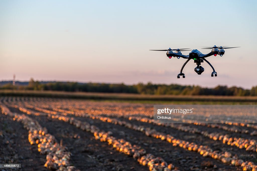 Soniquete cebollas volando sobre un campo al atardecer : Foto de stock