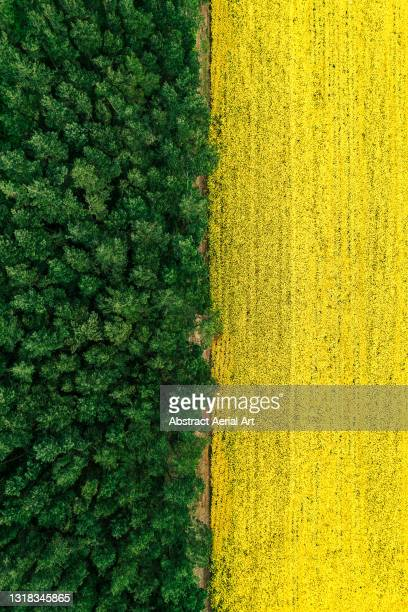 drone image looking down on a rapeseed field at the edge of a forest, england, united kingdom - woodland stock pictures, royalty-free photos & images