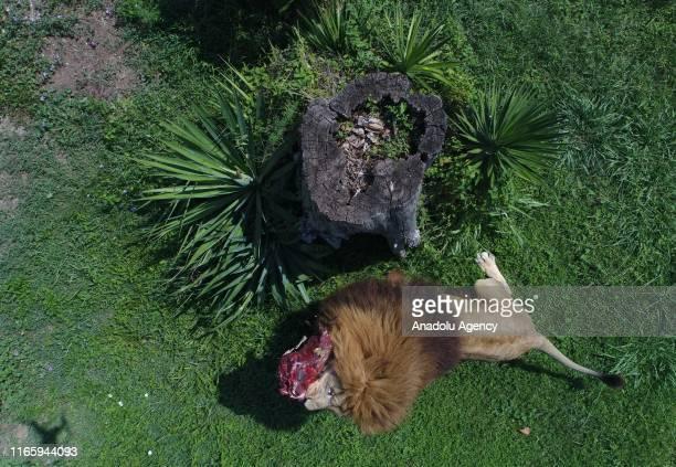 A drone photo shows a lion eating meat near a cut tree at Bursa Metropolitan Municipality Zoo in Bursa Turkey on September 04 2019