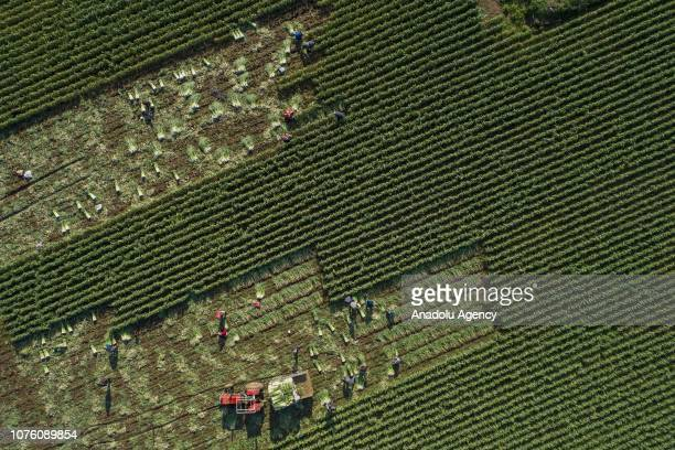 A drone photo shows agricultural laborers work through leek field during the harvest season in Torbali district of Izmir Turkey on December 31 2018