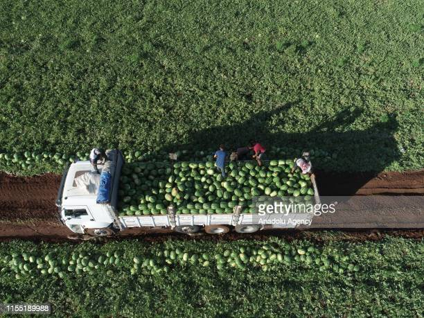 A drone photo shows farmers pick and pile up watermelons in pick up truck after first harvesting process in Diyarbakir Turkey on July 11 2019...