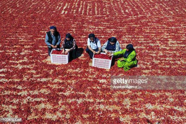 A drone photo shows workers spread red peppers on a field in Gaziantep Turkey on September 6 2018 After red peppers are separated from their stems...