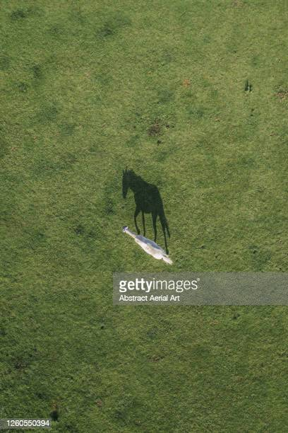 drone shot above a horse and its shadow in a field, england, united kingdom - animal stock pictures, royalty-free photos & images