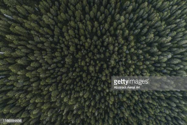 drone shot directly above a forest canopy, dolomites, italy - trädkrona bildbanksfoton och bilder