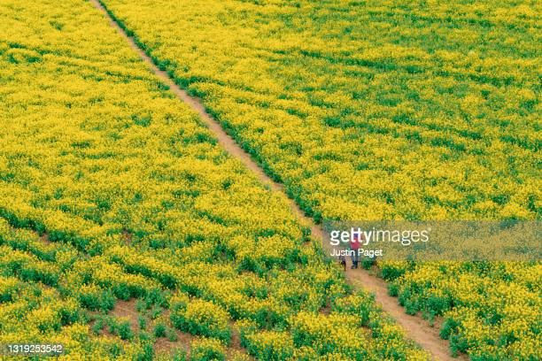 a drone view of a man walking his dog through an oilseed rape field - crucifers stock pictures, royalty-free photos & images