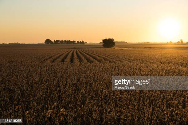 drone view of golden autumn sunrise at farm field - soybean harvest stock pictures, royalty-free photos & images