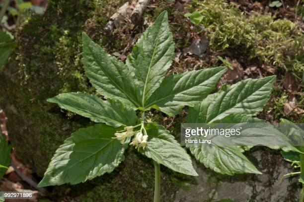 drooping bittercress (dentaria enneaphyllos), stems with flowers, sulzbach am kocher, schwaebischer wald, baden-wuerttemberg, germany - wald stock pictures, royalty-free photos & images