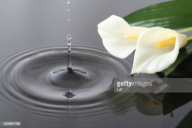 drop and flowers - calla lily stock pictures, royalty-free photos & images