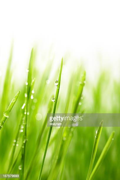 Droplet on blade of wheat grass
