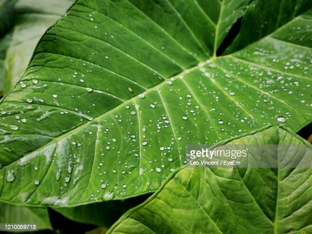 droplets on green leaves - rainy season stock pictures, royalty-free photos & images