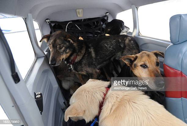 Dropped dogs are loaded in an Iditarod Air Force plane at Nikolai Alaska airport on Wednesday March 6 during the Iditarod Dog Sled Race