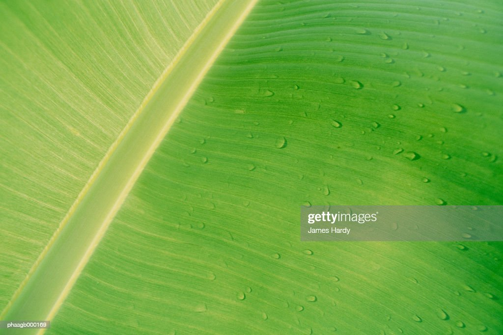 Drops of water on banana leaf, close-up : Stock Photo