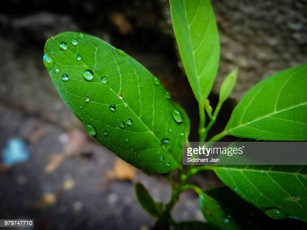 Drops of water on green leaf, Italy