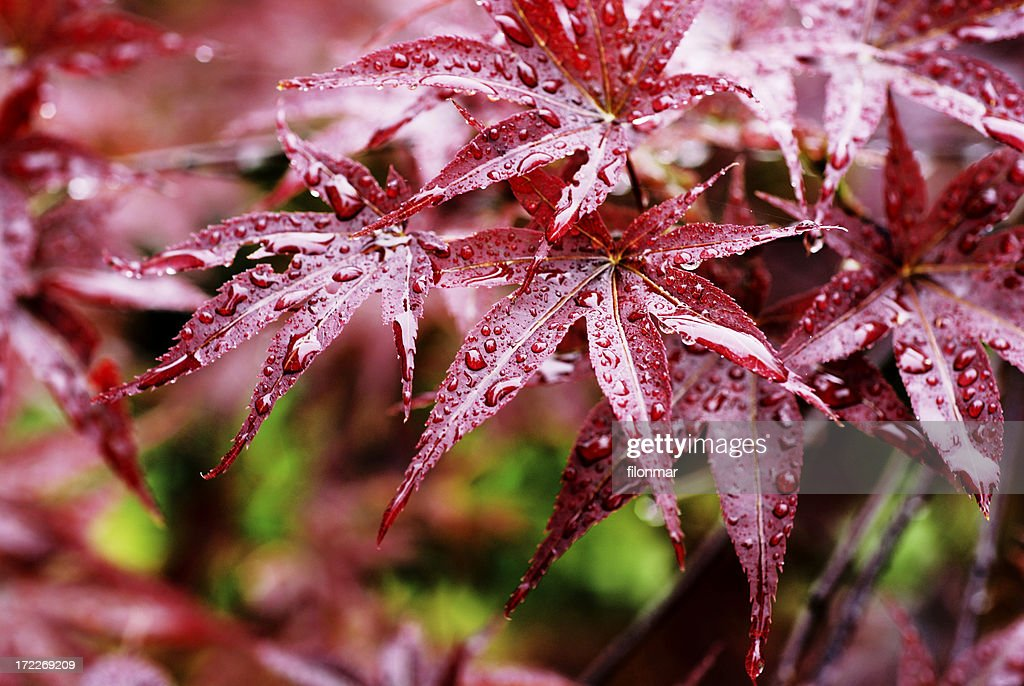 Drops on red leaves : Stock Photo