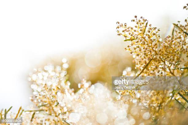drops on wattle flower buds - mimosa flower stock pictures, royalty-free photos & images