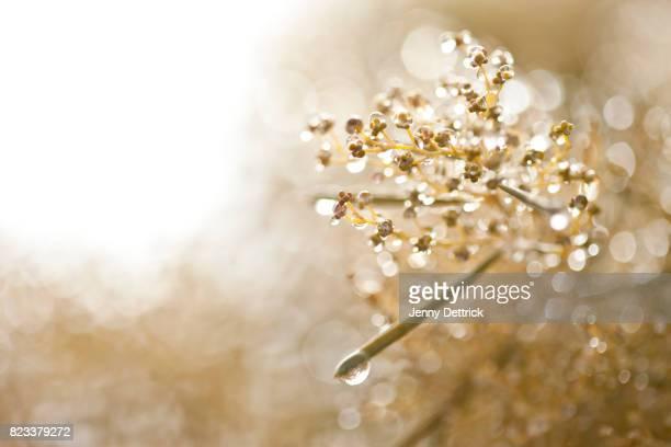 Drops on wattle flower buds