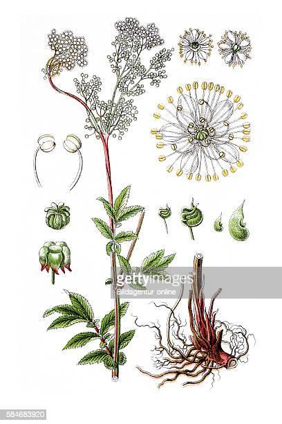 Dropwort Fernleaf dropwort Filipendula ulmaria