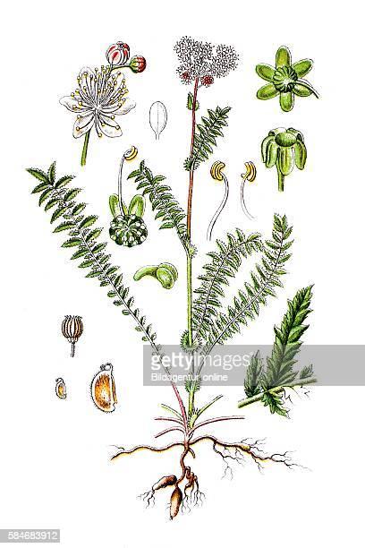 Dropwort Fernleaf dropwort Filipendula vulgaris