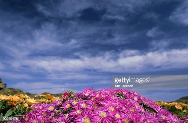 drosanthemum floribundum, goegap nr, namaqualand, south africa - ナマクワランド ストックフォトと画像