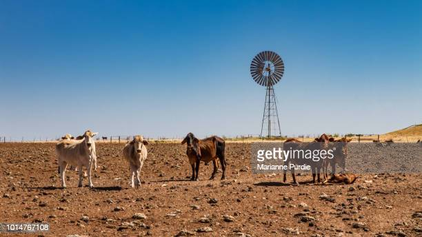drought affected cattle - cattle stock pictures, royalty-free photos & images