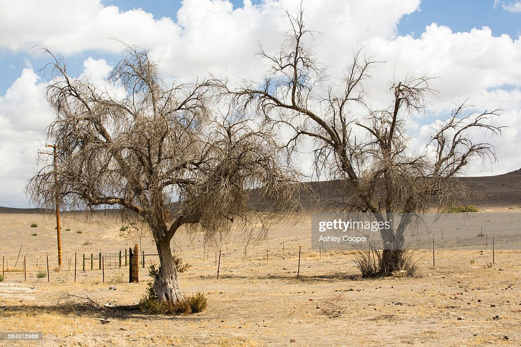 Drought killed trees in Bakersfield, California, USA. Following an unprecedented four year long drought, Bakersfield is now the driest city in the USA. : Stock Photo