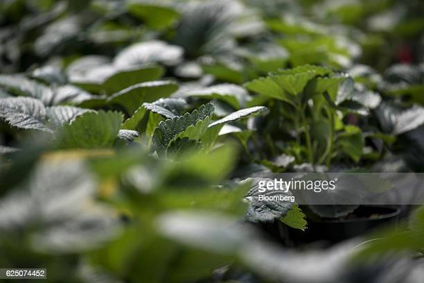 Drought resistant strawberries being grown inside a greenhouse are seen at the Driscoll's Inc facility on the Cassin Ranch in Watsonville California...