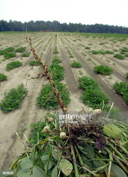 A drought stunted peanut plant demonstrates the lack of rain July 14 in Pinehurst Ga The entire state was declared a drought disaster area by the US...