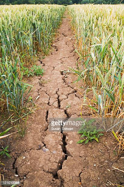 drought-cracked mud on path through wheat field - drought stock pictures, royalty-free photos & images