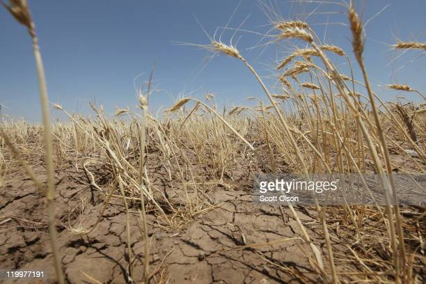 A droughtstricken wheat field bakes in the sun July 27 2011 near Hermleigh Texas A severe drought has caused the majority of dryland crops to fail in...