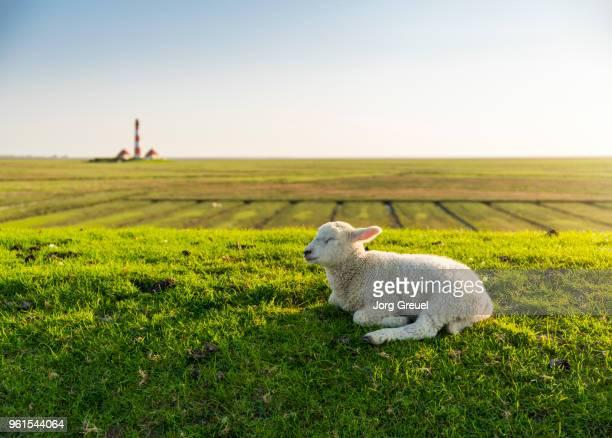 drowsy lamb on a dyke - schaf stock-fotos und bilder
