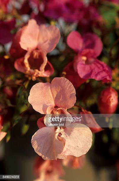 Drüsentragendes Springkraut Impatiens glanduliferar rosa