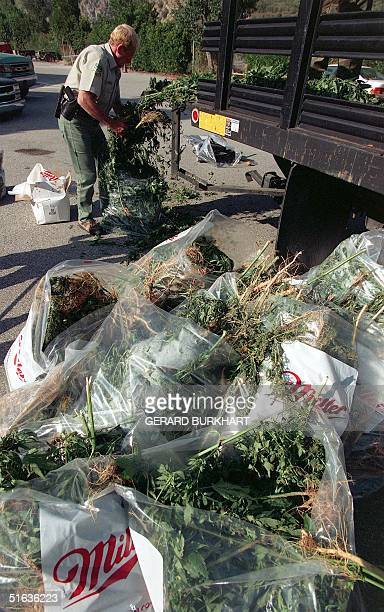 A drug enforcement officer stuffs plastic bags with marijuana confiscated from a plantation in the Angeles Forest outside Los Angeles CA 18 September...