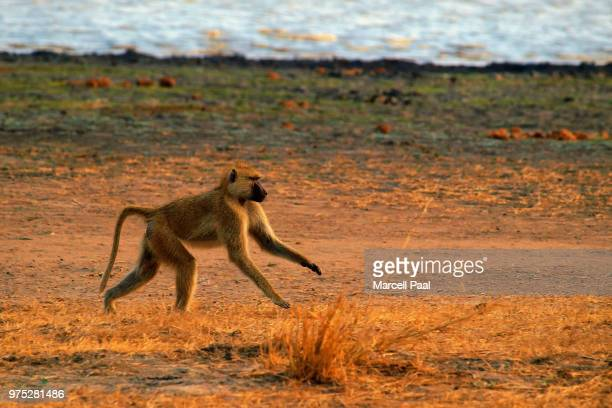 drum run - chacma baboon stock photos and pictures