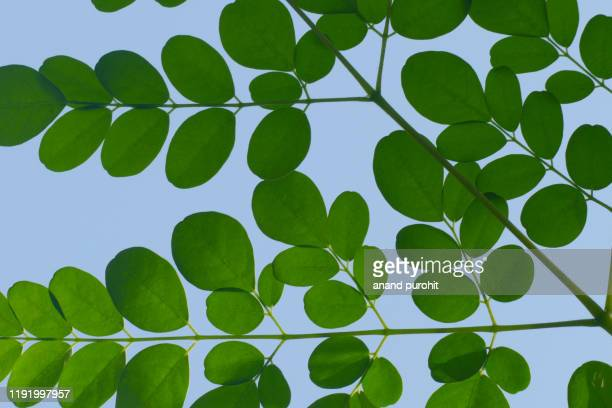 drumstick leaves - ayurveda medicine - crushed leaves stock pictures, royalty-free photos & images