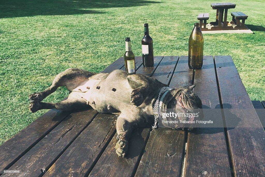 Drunk dog : Stock Photo
